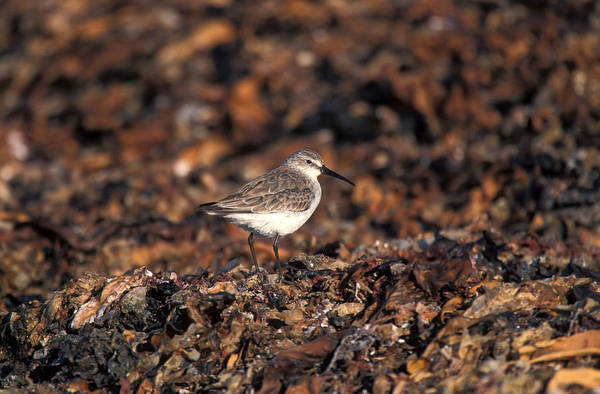 Wall Art - Photograph - Curlew Sandpiper, Namibia by David Hosking