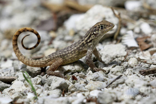 Photograph - Curly-tailed Lizard by Meg Rousher