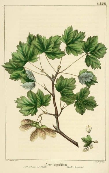 Drawing - Currant Leaved Maple by Unknown