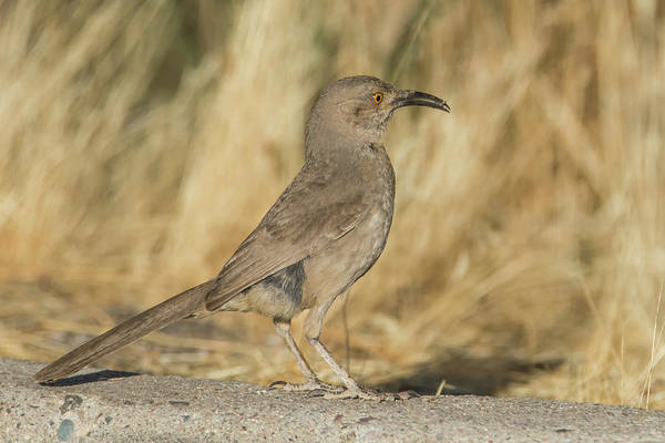 Photograph - Curve-billed Thrasher 3790-053019 by Tam Ryan