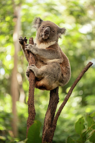 Photograph - Cute Australian Koala Resting During The Day. by Rob D Imagery