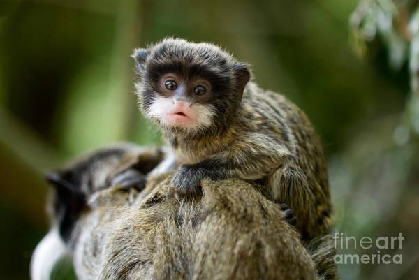 Monkey Wall Art - Photograph - Cute Baby Emperor Tamarin Saguinus by Eric Gevaert