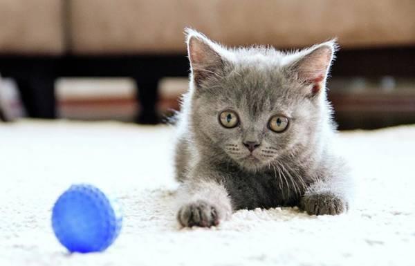 Eye Ball Photograph - Cute British Shorthair Cat by Ozcan Malkocer