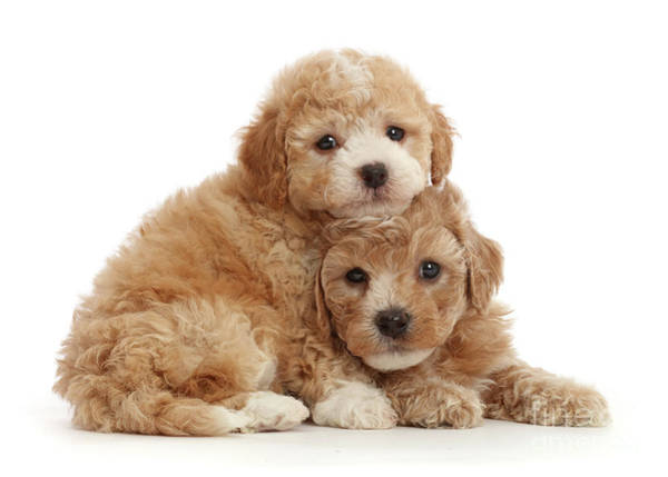 Photograph - Cute Cavapoochon Puppy Pair by Warren Photographic