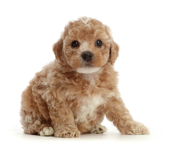 Photograph - Cute Cavapoochon Puppy by Warren Photographic