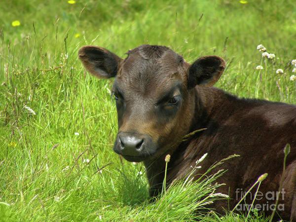 Wall Art - Photograph - Cute Cow by Terri Waters