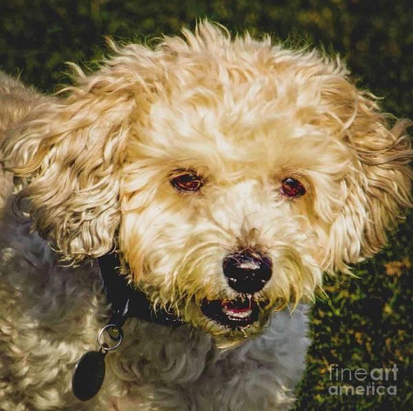 Photograph - Cute Fluffy Dog by Nigel Dudson