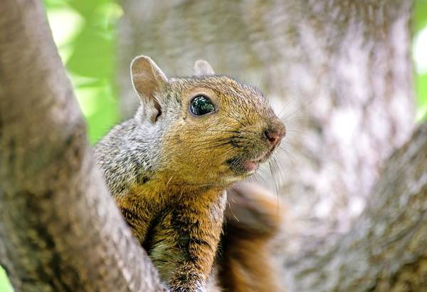 Photograph - Cute Funny Head Squirrel by Don Northup
