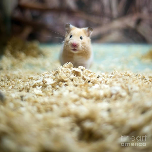Wall Art - Photograph - Cute Hamster by Liushengfilm