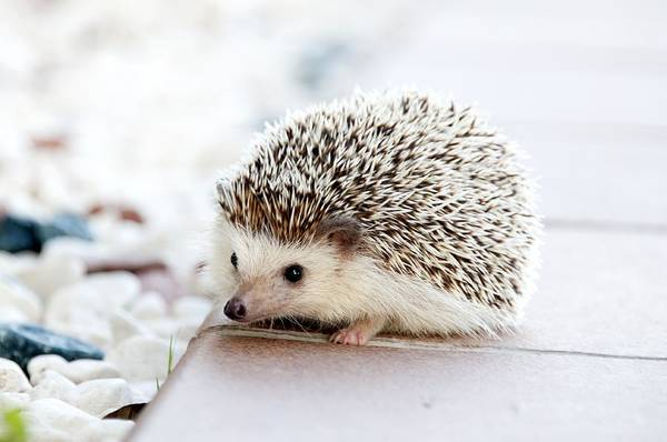 Photograph - Cute Hedgeog by Top Wallpapers
