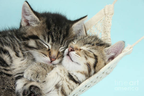 Photograph - Cute Kitties In A Hammock by Warren Photographic
