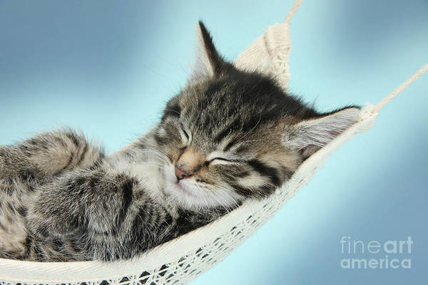 Photograph - Cute Kitty In A Hammock by Warren Photographic