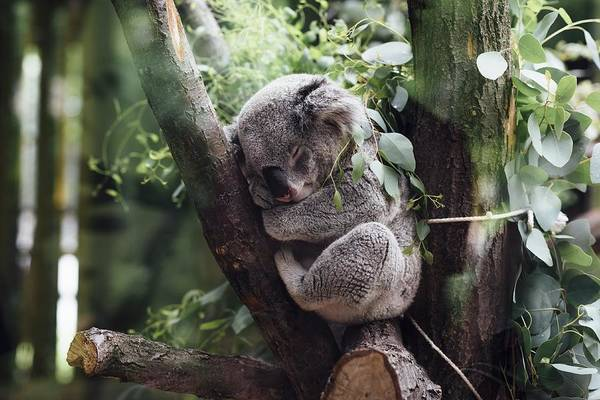 Photograph - Cute Koala  by Top Wallpapers