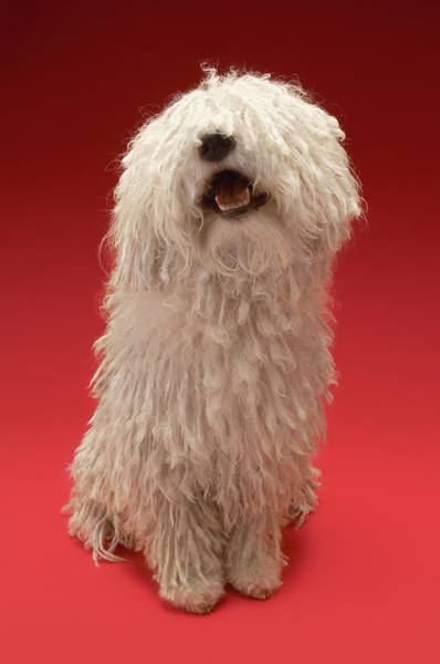 Cute Photograph - Cute Komondor Dog by Moodboard