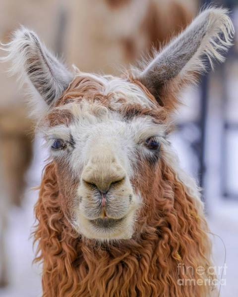 Photograph - Cute Llama by Susan Rydberg