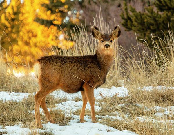 Photograph - Cute Mule Deer Doe by Steve Krull