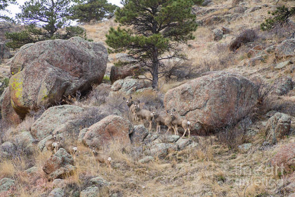 Photograph - Cute Mule Deer Herd On The Foothills by James BO Insogna