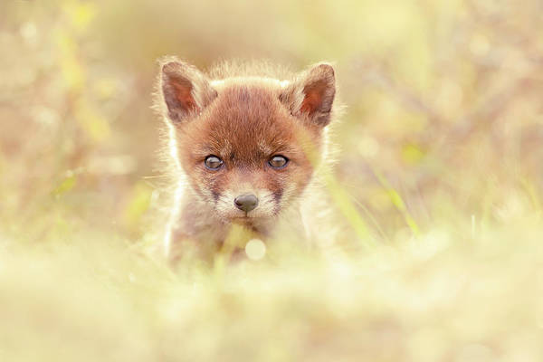 Wall Art - Photograph - Cute Overload Series - Baby Fox by Roeselien Raimond
