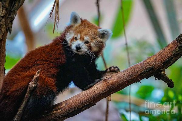 Photograph - Cute Red Panda by Susan Rydberg
