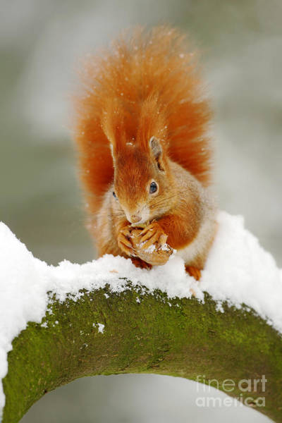 Wall Art - Photograph - Cute Red Squirrel Eats A Nut In Winter by Ondrej Prosicky
