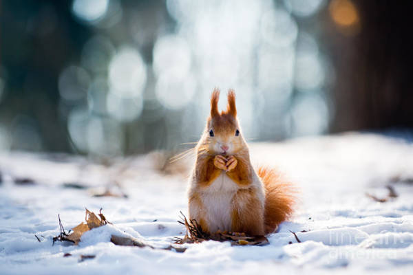 Wall Art - Photograph - Cute Red Squirrel Eats A Nut In Winter by Vojta Herout
