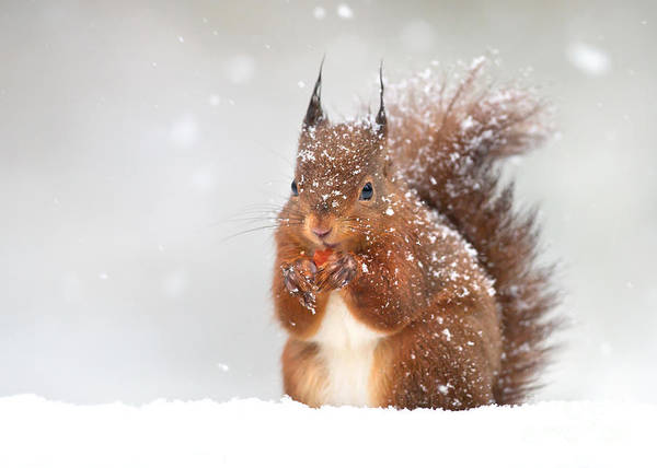 Wall Art - Photograph - Cute Red Squirrel In The Falling Snow by Giedriius