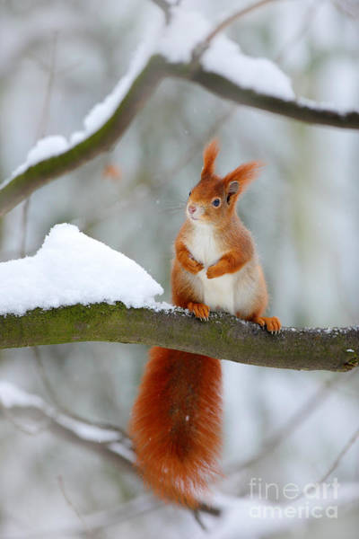 Wall Art - Photograph - Cute Red Squirrel In Winter Scene With by Ondrej Prosicky