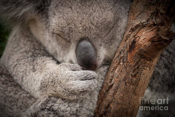 Wall Art - Photograph - Cute Sleeping Wild  Koala Closeup by Papuchalka - Kaelaimages