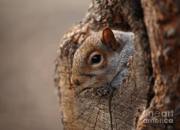 Wall Art - Photograph - Cute Squirrel Looks Out Of Her Hole by L I G H T P O E T