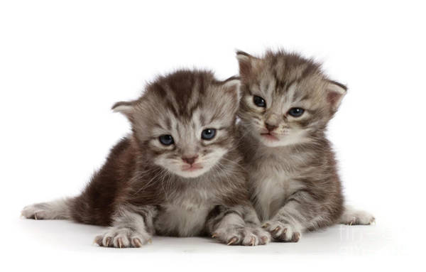 Photograph - Cute Young Kittens by Warren Photographic