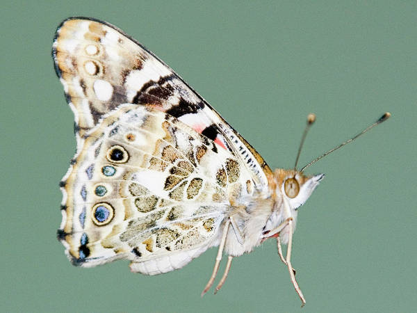 Insect Photograph - Cutout Of Butterfly by Aurora Rodriguez