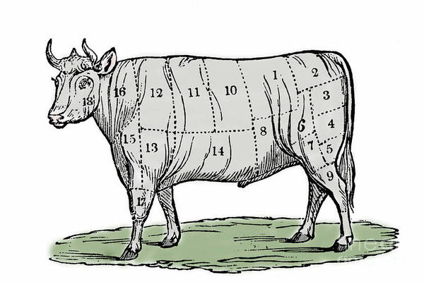 Wall Art - Drawing - Cuts Of Beef by European School