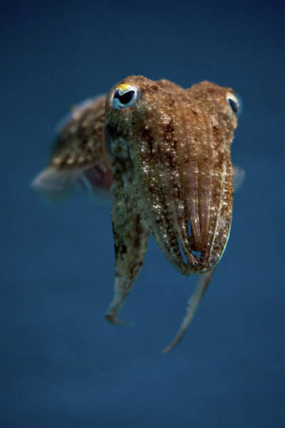 Underwater Photograph - Cuttlefish by Stavros Markopoulos