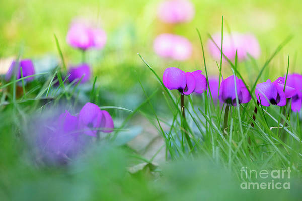 Wall Art - Photograph - Cyclamen Coum In Grass by Tim Gainey