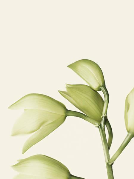 Cymbidium Photograph - Cymbidium Orchid by Adrian Burke