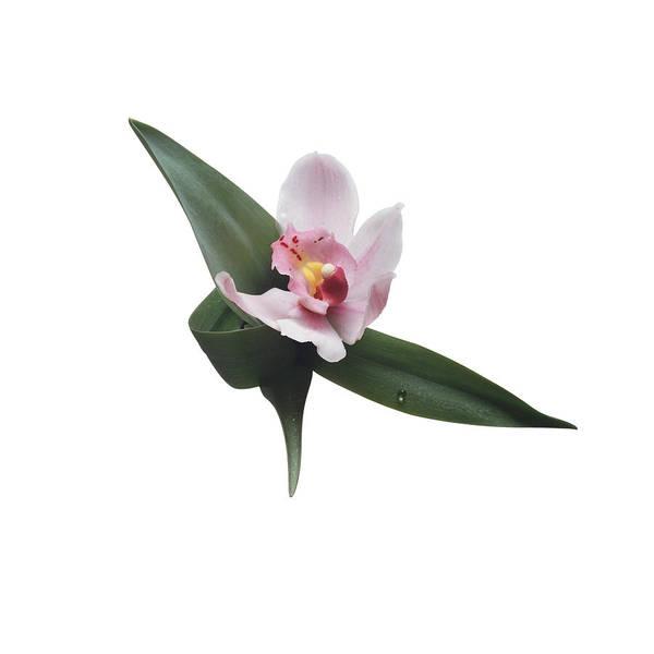 Cymbidium Photograph - Cymbidium Orchid by C Squared Studios