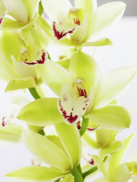Cymbidium Photograph - Cymbidium Orchids, Close-up by Thomas Barwick