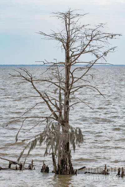 Photograph - Cypess Tree - Lake Moultrie by Dale Powell