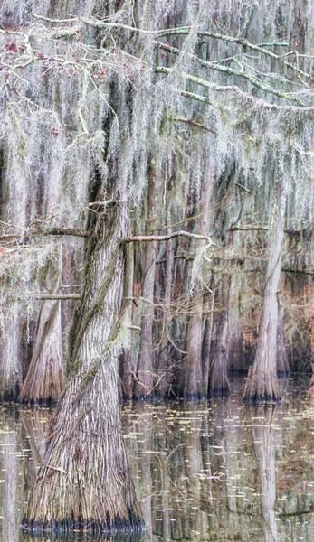 Photograph - Cypress Dance - Jo Ann Tomaselli by Jo Ann Tomaselli