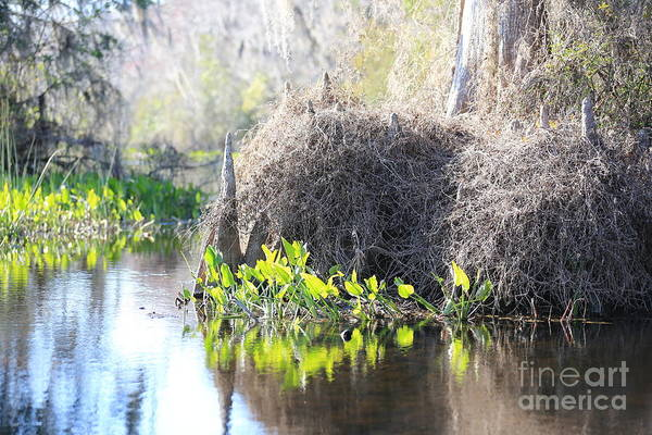 Wall Art - Photograph - Cypress Knees And Light In The Swamp by Carol Groenen