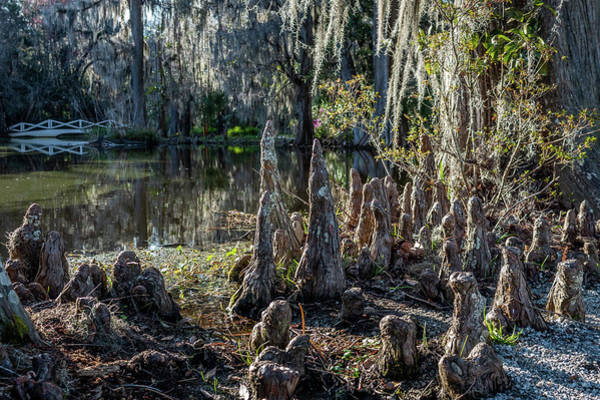 Photograph - Cypress Pilgrimage by Susie Weaver