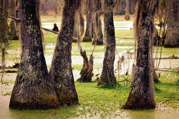 Rockville Photograph - Cypress Swamp In Spring. South by Maria Mosolova