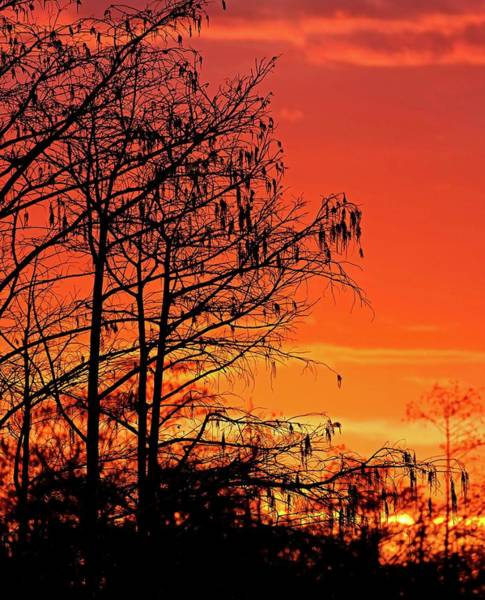 Photograph - Cypress Swamp Sunset by Steve DaPonte