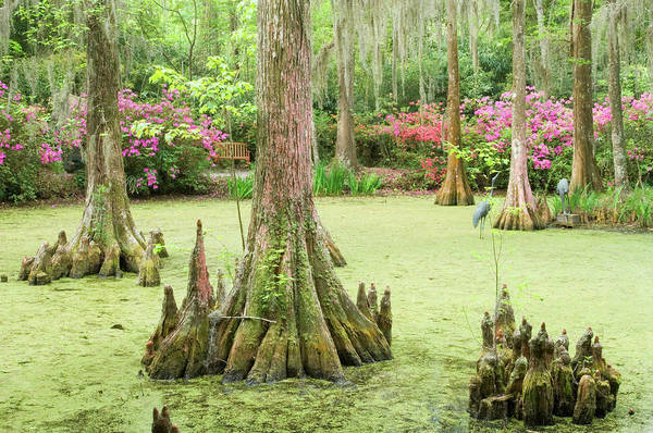 Bald Cypress Wall Art - Photograph - Cypress Swamp by Tony Sweet