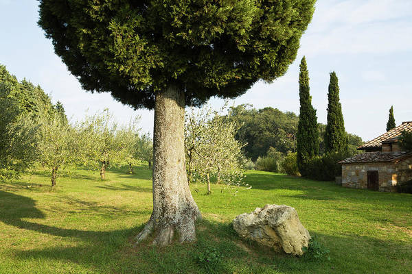 Wall Art - Photograph - Cypress Tree And An Olive Grove On A by Mint Images - Paul Edmondson
