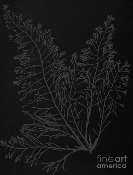 Wall Art - Photograph - Cystoseira Granulata by Anna Atkins