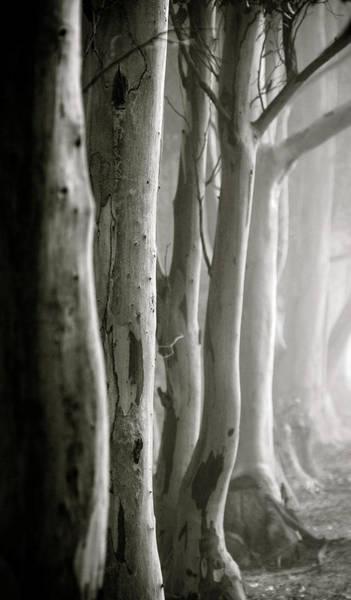D0805 - Gumtrees Art Print