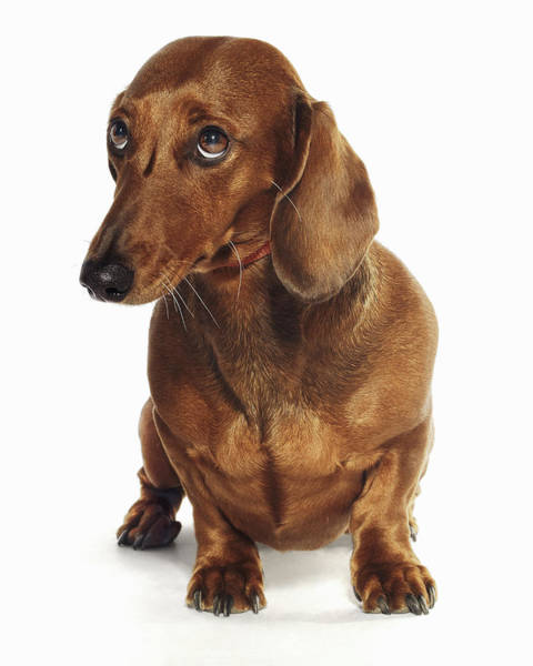 No One Wall Art - Photograph - Dachshund Looking Up by Gandee Vasan