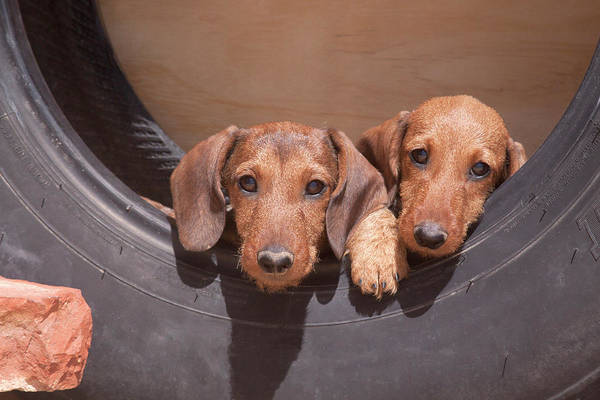 Wall Art - Photograph - Dachshund Puppies by Zandria Muench Beraldo