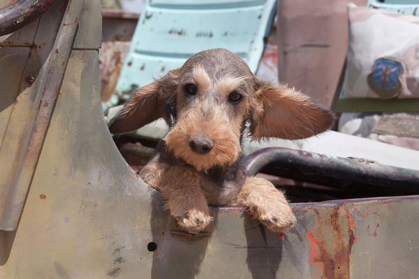 Wall Art - Photograph - Dachshund Puppy's Ears Flapping by Zandria Muench Beraldo